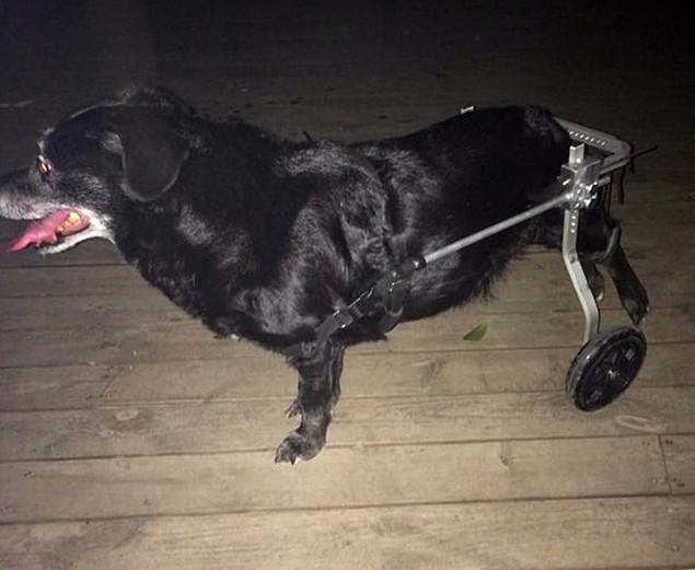 รถเข็นสำหรับสัตว์พิการ วีลแชร์หมา วีลแชร์แมว วีลแชร์สำหรับสัตว์เลี้ยงอายุมาก สำหรับน้ำหนัก 9-16 KG แบบ 2 ล้อ ขาหลัง
