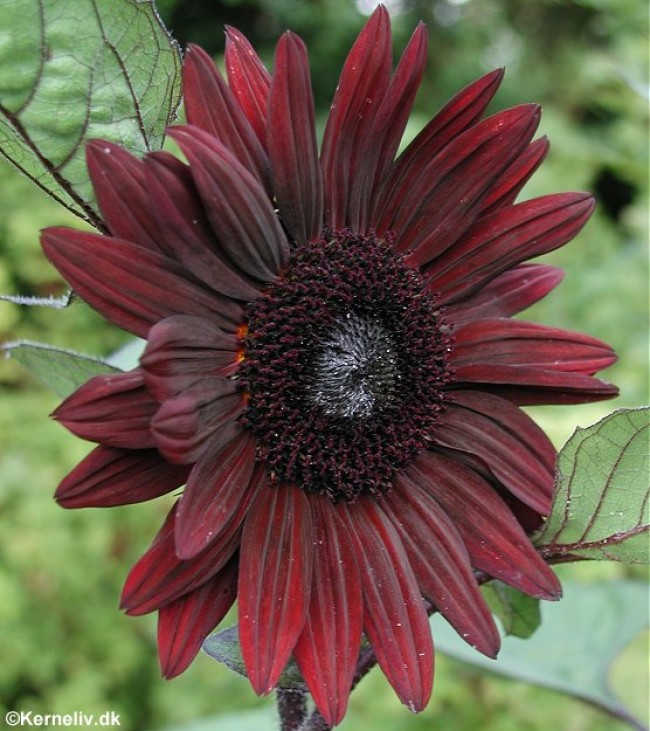 ทานตะวันแบล็กเมจิก F1 - Black Magic F1 Sunflower
