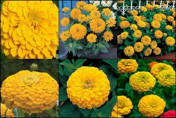 ดอกบานชื่น สีเหลืองทอง 15 เมล็ด/ชุด