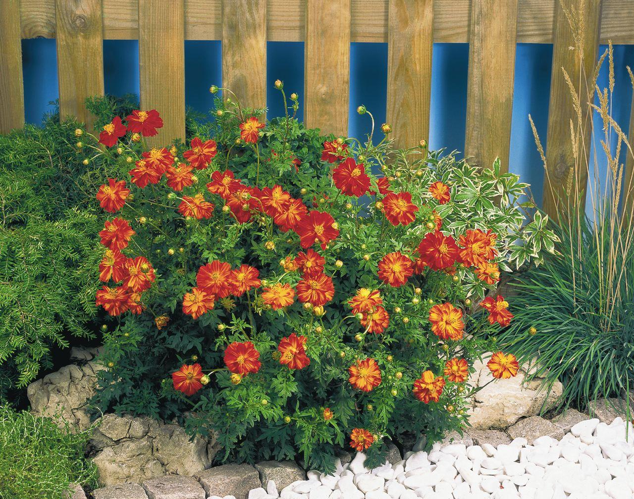 ดอกคอสมอส ซันนี่ เรด (ต้นเตี้ย) 10 เมล็ด/ชุด