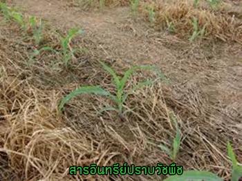 ยาฆ่าหญ้าชีวภาพ,สารอินทรีย์สกัดกำจัดวัชพืชในนาข้าว,ยาปราบวัชพืชในนาข้าวม,สารกำจัดวัชพืชมันสัมปะหลัง,สารกำจัดวัชพืชอินทรีย์,สารชีวภาพกำจัดหญ้า,การกำจัดวัชพืชโดยไม่ใช้สารเคมี,สารชีวภัณฑ์,ไตรโคเดอร์มา,บิวเวอร์เรีย,เมธาไรเซียม,พาซิโลมัยซิส,บีที,บีเอส