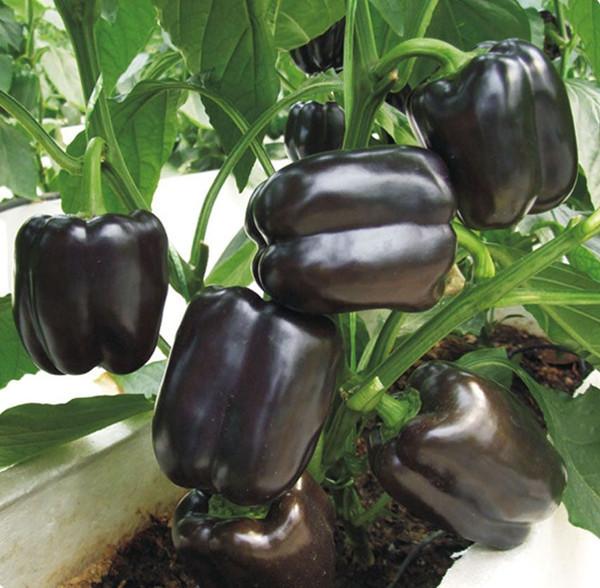 Purple Sweet Pepper