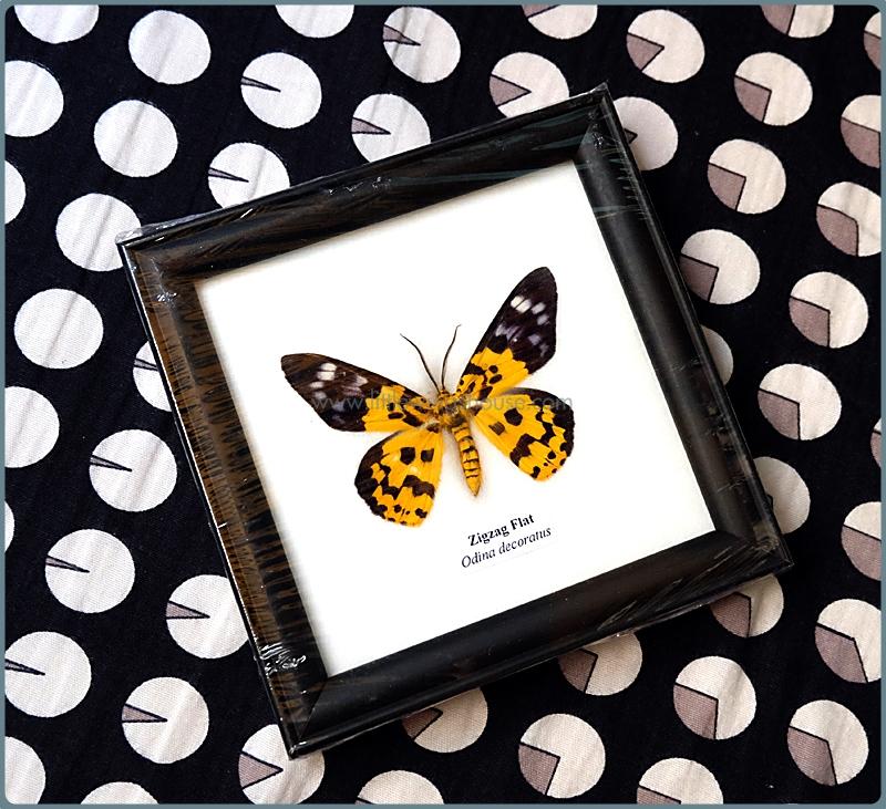 ++ ผีเสื้อสต๊าฟ กรอบผีเสื้อเดี่ยวจิ๋ว มอธทองเฉียงพร้า Inchworm moth (Dysphania militaris) ++