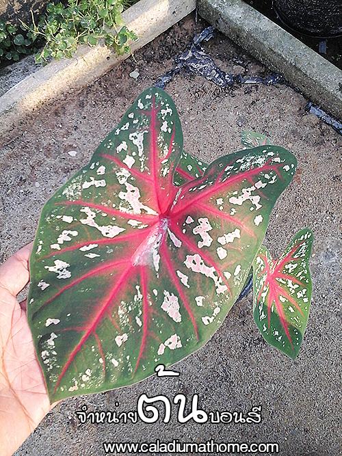 ต้นบอนสี เจ้ากรุงไกรเซอร์ ขนาดกระถาง6นิ้ว