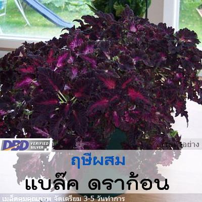 ฤษีผสม แบล๊ค ดราก้อน (Black Dragon) 0.88-1.09 บาท/เมล็ด