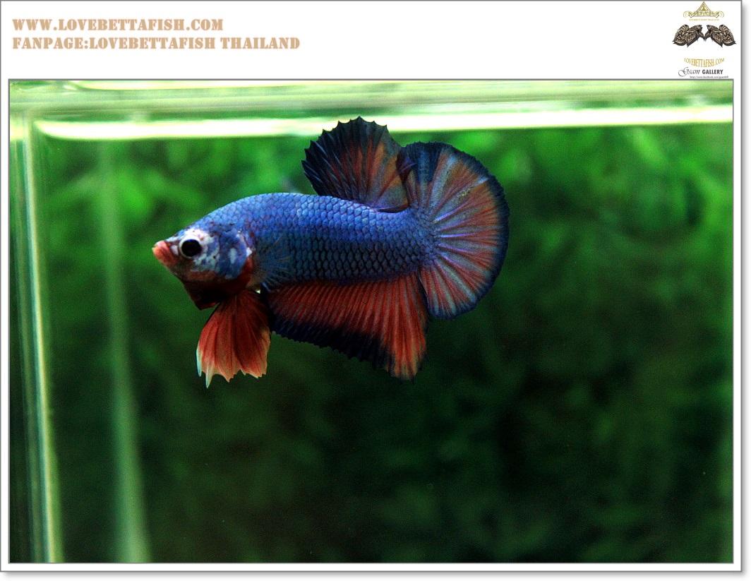 คัดเกรดปลากัดครีบสั้น-Halfmoon Plakat Fancy Dragon Green Blue Red