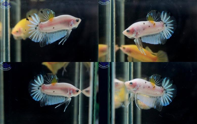 """(ขายแล้วครับ)ตอนรับเทศกาล สงกรานต์ """"คัดเกรด""""ปลากัดครีบสั้น-Halfmoon Plakats Super Fancy Koi"""