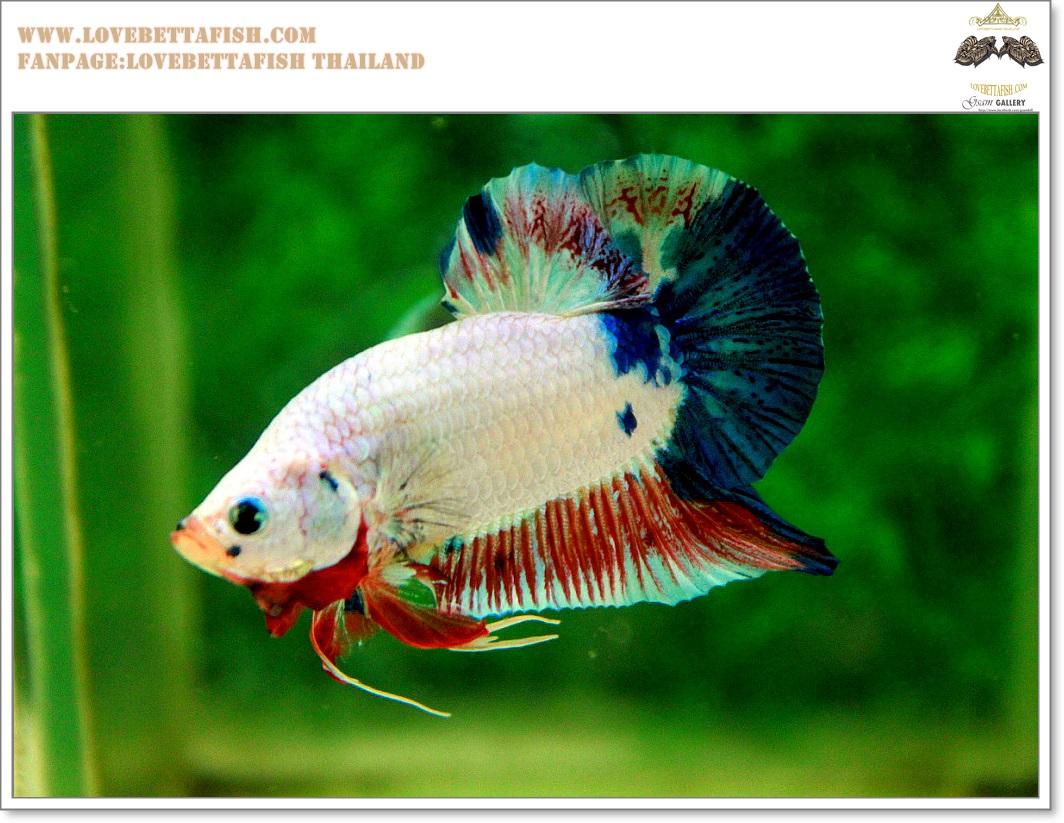 คัดเกรดปลากัดครีบสั้น-Hi- Quality Halfmoon Plakat Fancy Marble Quality Grade