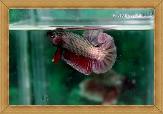 (ขายแล้วครับ)ปลากัดครีบสั้น - Halfmoon Plakats Copper