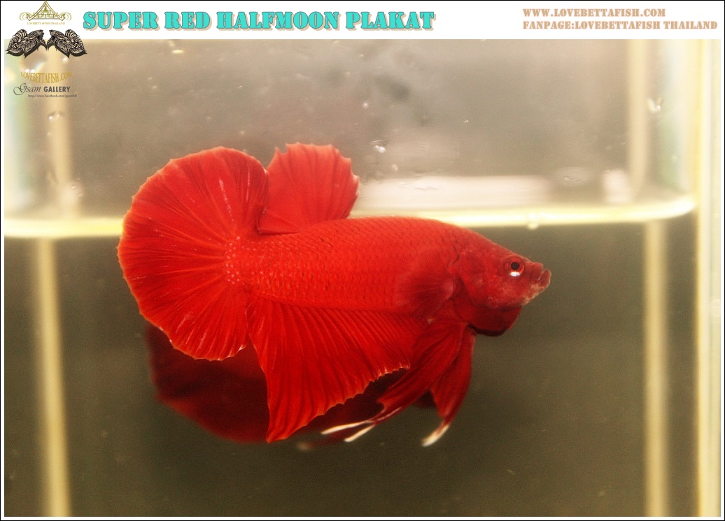 """(ขายแล้วครับ)""""คัดเกรด""""ปลากัดครีบสั้น-Halfmoon Plakats Super Red"""