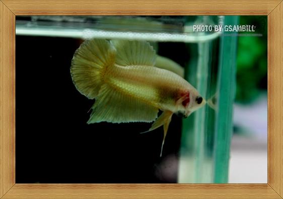 *ปลาเกรด*ปลากัดครีบสั้น - Halfmoon Plakats SUPER GOLD