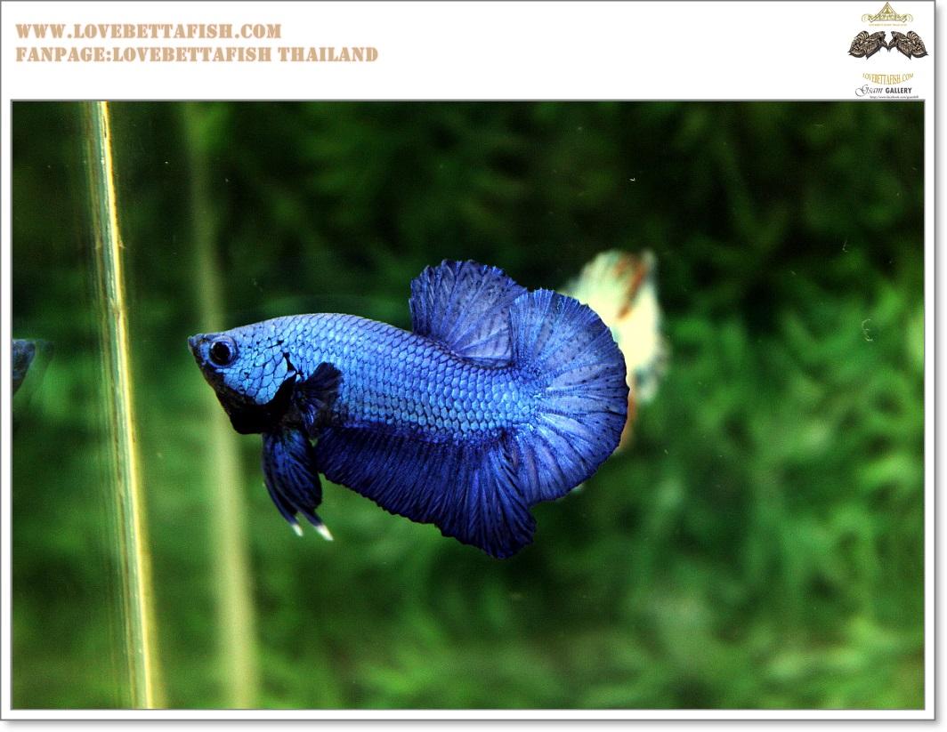 คัดเกรดปลากัดครีบสั้น-Halfmoon Plakat Super Blue
