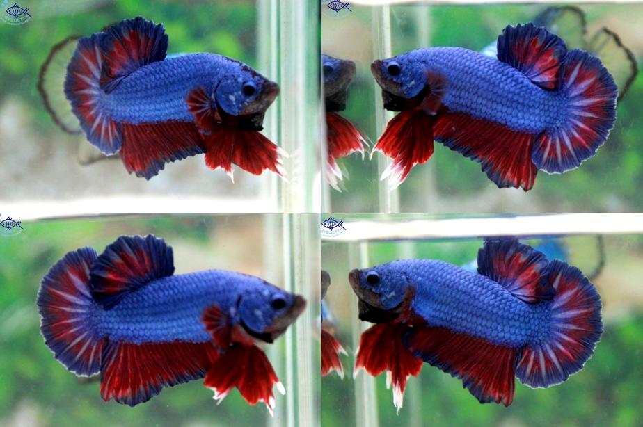 """(ขายแล้วครับ)""""คัดเกรด""""ปลากัดครีบสั้น-Halfmoon Plakats Fancy Blue Red"""