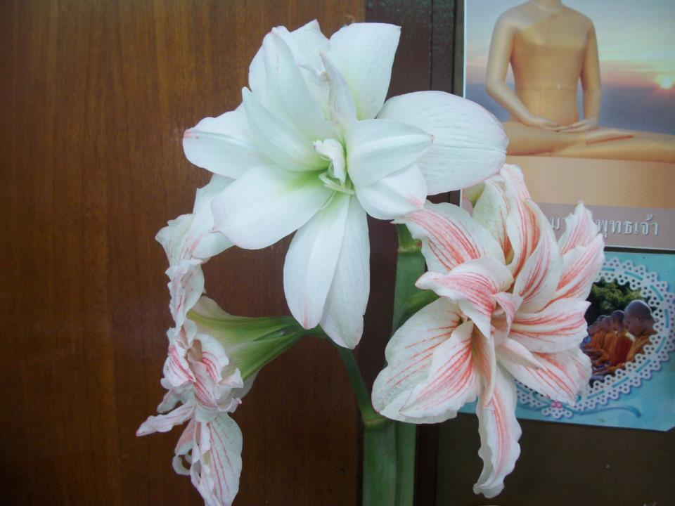 Amaryllis marry lu
