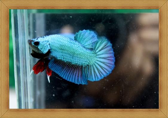 (ขายแล้วครับ)ปลากัดครีบสั้น - Halfmoon Plakats SUPPERBLUE