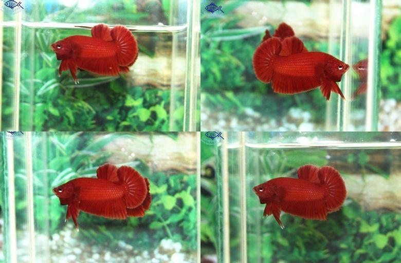 """(ขายแล้วครับ)""""คัดเกรด""""ปลากัดครีบสั้น-Halfmoon Plakats Super Red#2 Grade B+"""