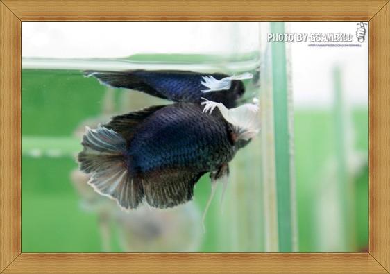 (ขายแล้วครับ)ปลากัดครีบสั้นหูช้าง-Halfmoon Plakats Big Ear Short Body