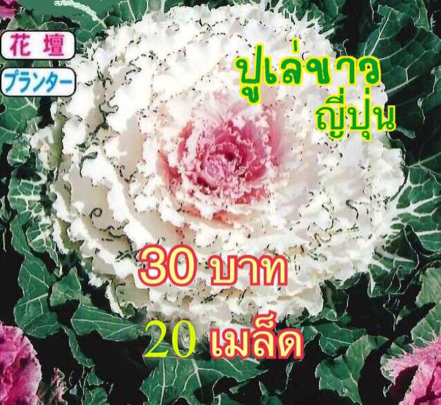 เมล็ดพันธุ์ปูเล่ขาว ญี่ปุ่น 20เมล็ด